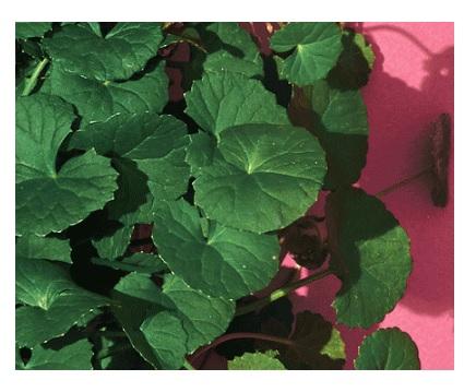 Dr.Jart+ Cicapair Serum Derma Green Solution4.jpg